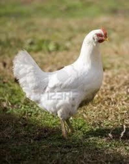 راهنمای کاربردی پرورش طیور:مرغ،بوقلمون،کبک و شترمرغ و بلدرچین