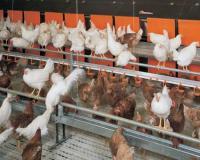 طرح توجیهی پرورش مرغ گوشتی به ظرفیت 100 هزار در سال