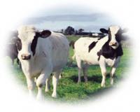 آموزش ایجاد گاوداری و اخذوام وپرورش گاو شیری و گوشتی