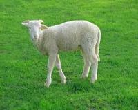 توضيحات طرح توجیهی جامع نگهداری وپرواربندی گوسفند