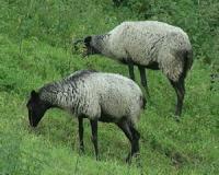 طرح توجیهی پرواربندی گوسفند وپرورش بره