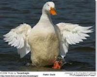 طرح پرورش اردک مادر