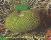 سیب تزئینی درخت کریسمس سه عدد