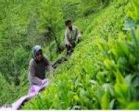 جزوه طرح توجیهی اقتصادی تولید چای صنعتی